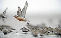 Verdensarv: Vadehavets trækfugle i pipelinen