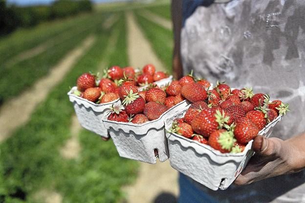 Årets jordbær fra Thy er så søde at tænderne løber i vand. Her er det sorten Corona. Der er også rækker med jordbærbær af arten Honey-eye i Kjelstrup. Foto: Ole Iversen
