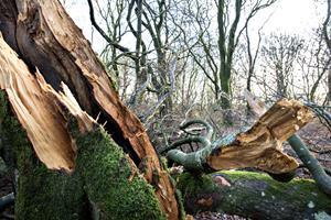 I dag er stormfald blevet skovens ven