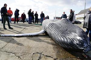 Syv meter lang pukkelhval fanget i nordjysk fiskers bundgarn