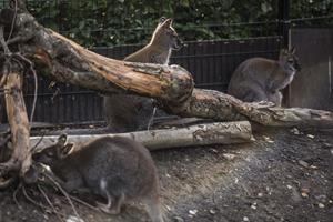 Ni kænguruer er blevet stjålet fra zoo på Djursland