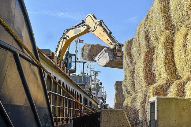 Tirsdag og onsdag blev 1000 baller af halm lastet til Norge. Tørken har gjort halm værdifuldt. Foto: Ole Iversen
