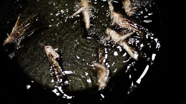 Mænd er mest villige til at spise græshopper og larver