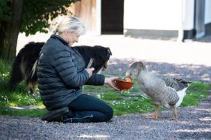 Gås går amok i Uggerby: Verden elsker historien om hidsige Sortenæb