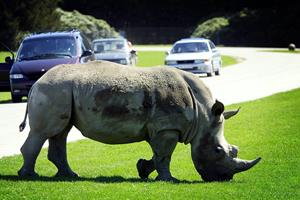 Københavns Zoo afliver næsehorn efter alvorlig sygdom