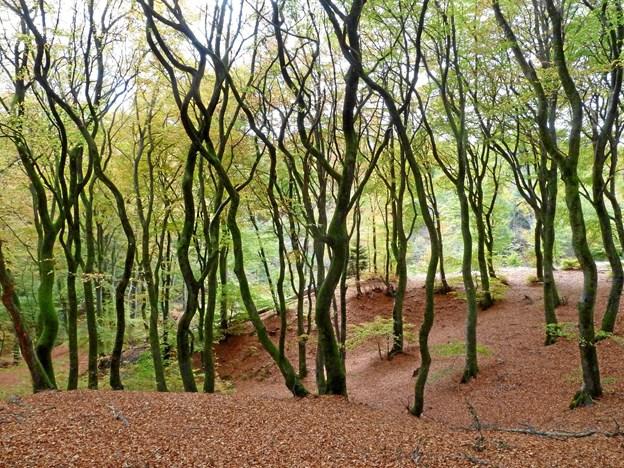 Krogede træer i Sønderskov. Foto: Mogens Ingemannsen