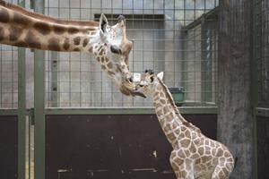 Uventet fødsel i girafhuset