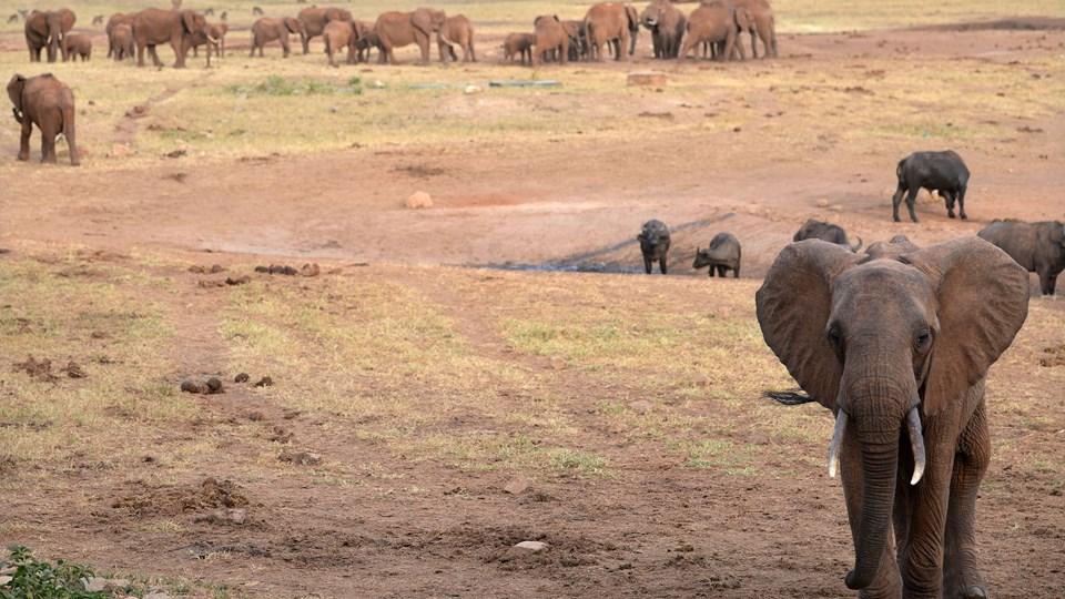 USA's regler for import af eksempelvis jagttrofæer efter elefantjagt skal diskuteres af et ekspertpanel bestående af adskillige trofæjægere. Foto: Scanpix/Tony Karumba/arkiv