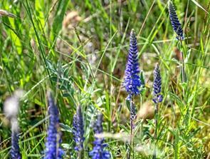 Mange ville se på vilde blomster