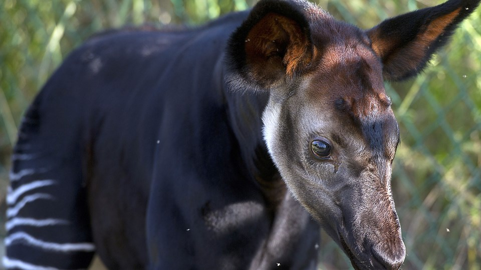 Okapien er i familie med giraffen, selv om den minder om en zebra i udseende. (Arkivfoto)