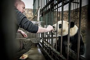 Se fotos: Pandaer gøres klar til afrejse mod Danmark