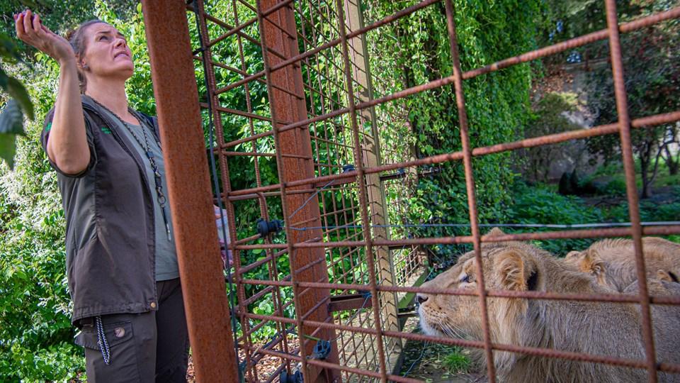 Sara Villadsen er dyrepasser i Aalborg Zoo. Løverne tør ikke komme for tæt på hegnet, der løber elektriske tråde inden for. Dyrepasseren går heller aldrig ind til de voksne løver. Det er alt for farligt. Foto: Martin Damgård.