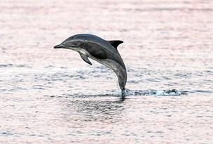 Derfor har delfinen fundet vej til Limfjorden
