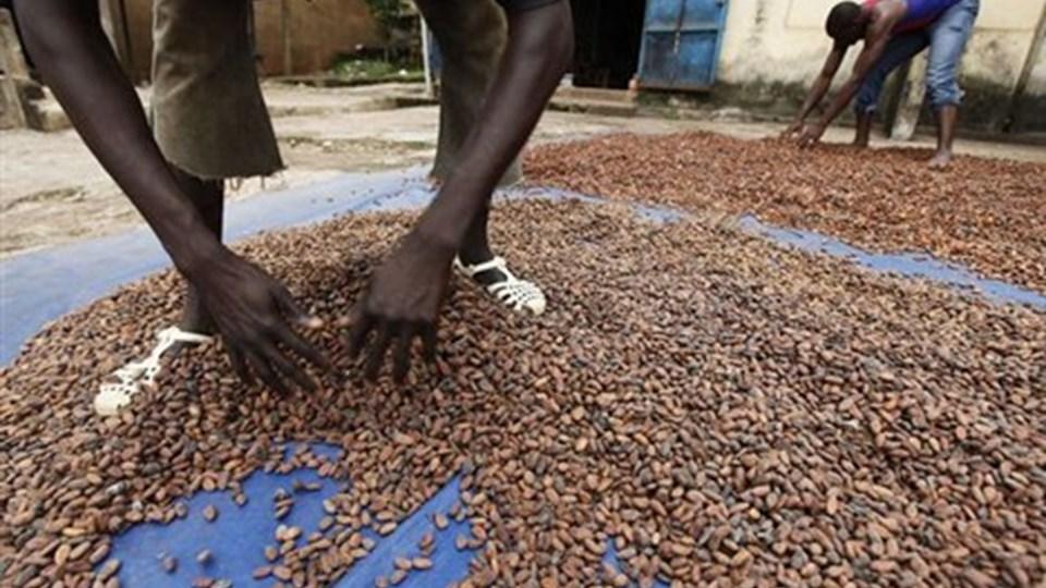 To tredjedele af børnene, der arbejder i mere end 12 timer om dagen på kakaoplanrtagerne, er under 14 år.Foto: Scanpix