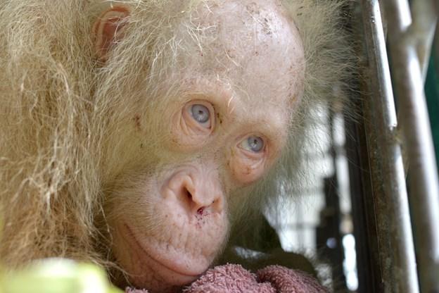 Så sker det: Albino-orangutangen Alba bliver sat fri