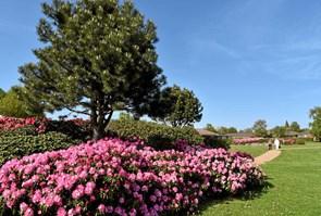 Rhododendronparken blomstrer