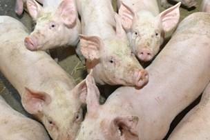 Nordjyder ramt af svinepest: 95.000 grise aflives på ukrainsk farm med danske ejere