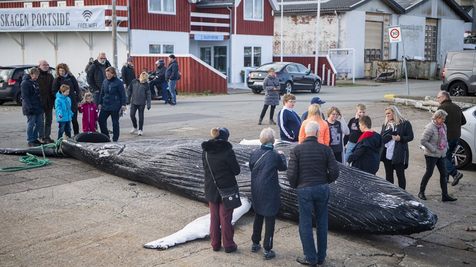 Mange forbipasserende stoppede op ved det usædvanlige syn på havnen i Skagen. Foto: Henrik Bo
