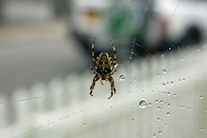 Edderkopper får familie til at forlade hjem