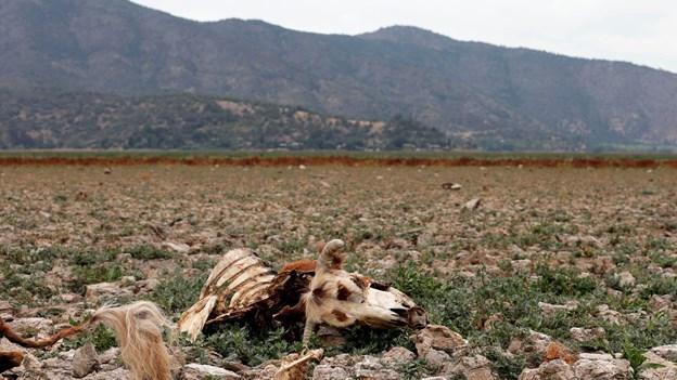 Tørke dræber over 100.000 køer og heste i det centrale Chile