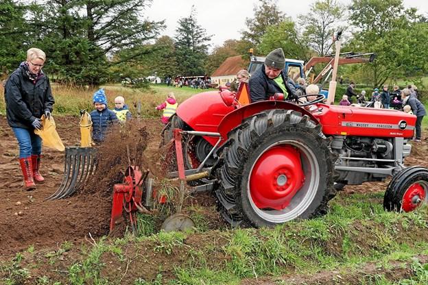 Det er nemmere at samle kartoflerne op, når de er blevet løsnet fra jorden. Foto: Niels Helver