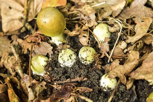Svampene, der reelt blot er frugter af det samme mycelium, skyder frem så tæt, at de må kæmpe om pladsen.