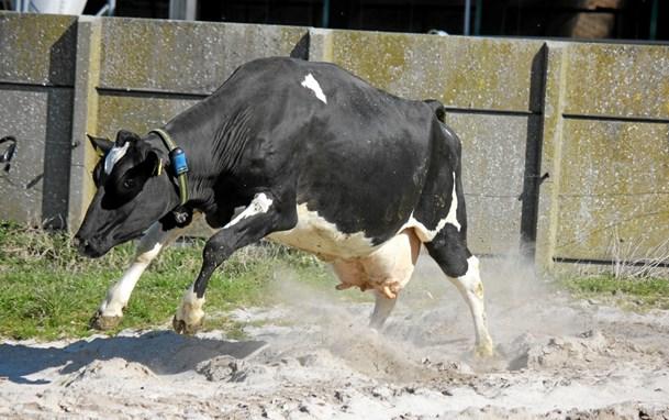 Køerne dansede for 2000