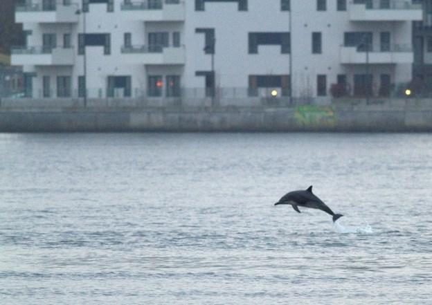 Der er ikke bare én: Delfin-par spottet i Limfjorden