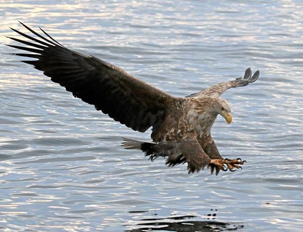 Oplev Nordeuropas største vingefang på Ørnens Dag