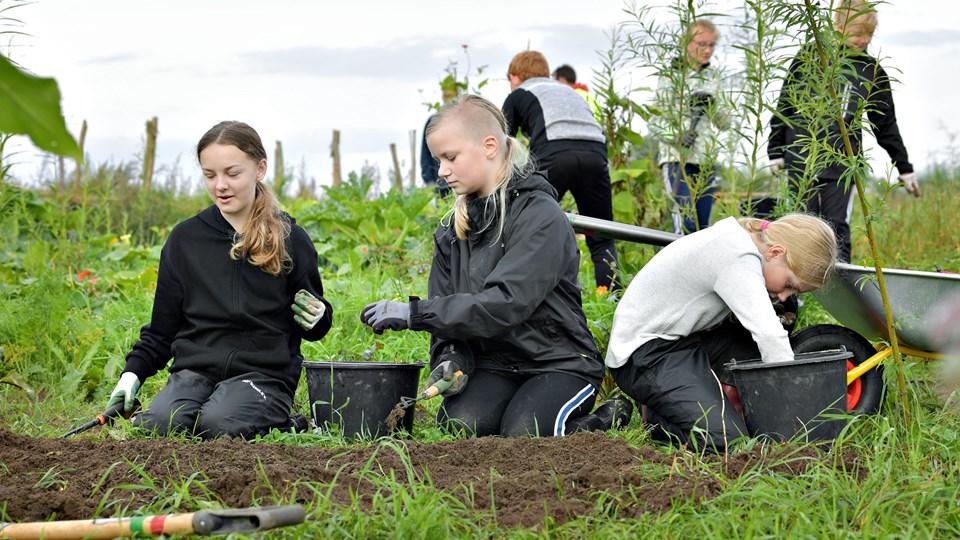 6. klasse på Suldrup Skole er for syvende gang cyklet til Himmerlandsbyen i Aarestrup for at passe deres skolehave. Foto: Claus Søndberg