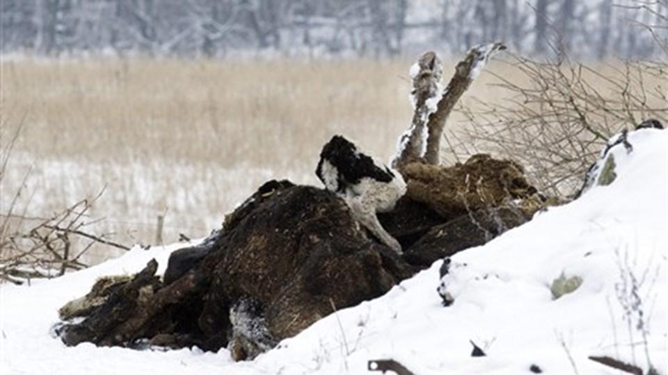 Omkring 15 kvæg blev fundet døde på gården. Nogle af de døde kvæg blev fundet inde i stalden og andre lå på mødningen.  Foto: Henrik Louis