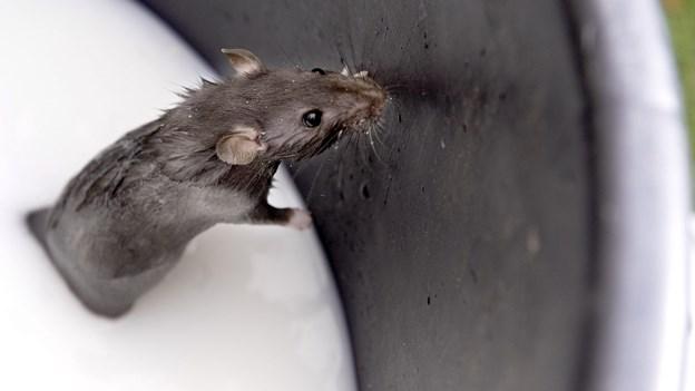 10.000 rotter røg i fælden
