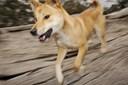 Far redder sin lille søn ud af kæben på dingo på ferieø