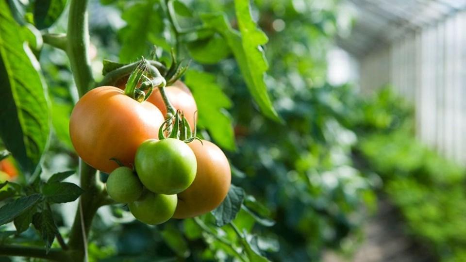 Drivhuset er ideelt, hvis du drømmer om at dyrke grøntsager som tomater, agurker, peberfrugter og chili. Foto: Free/Colourbox.dk
