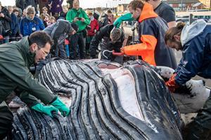 Efter parteringen: Det ved vi om hvalen nu