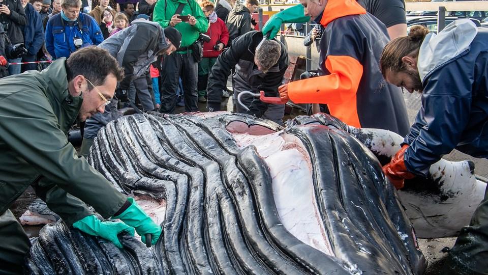 Den døde pukkelhval blev skåret op i Hirtshals onsdag. Foto: Peter Broen