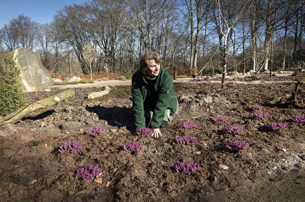 Ellen Ræbild plantede hedens lyng i foråret  2014. Peter Broen
