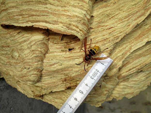 En kæmpe gedehams kan være op til fire centimeter lang, som det fremgår af dette billede. Privatfoto