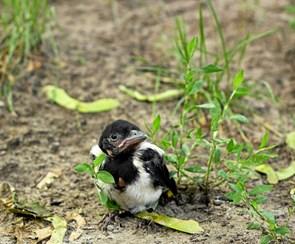Fugleunger bekymrer  mennesker unødigt