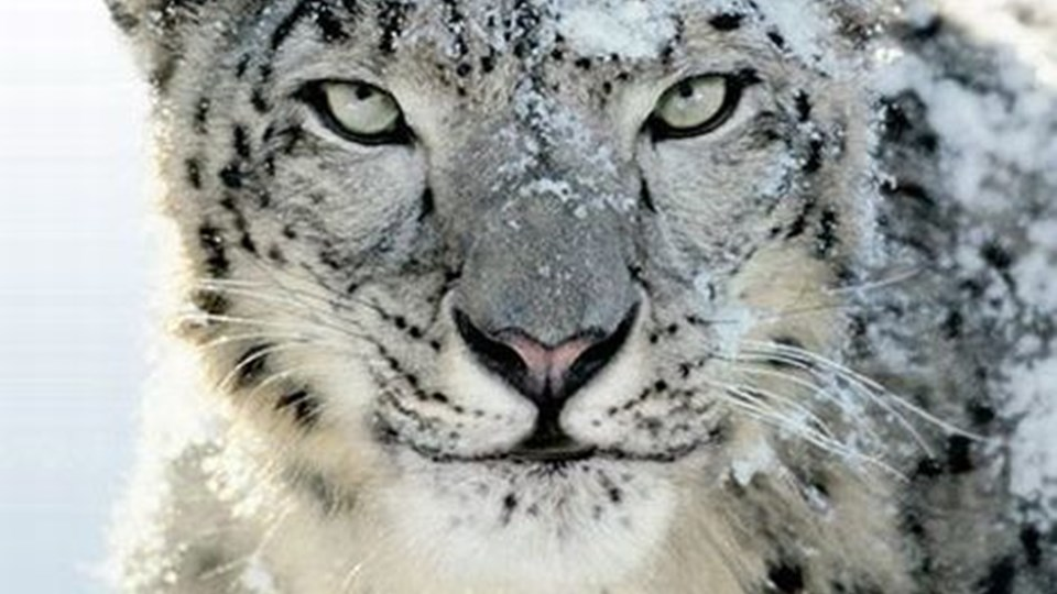 * FOTO9 - (sneleopard - INGEN BILLEDTEKST) *