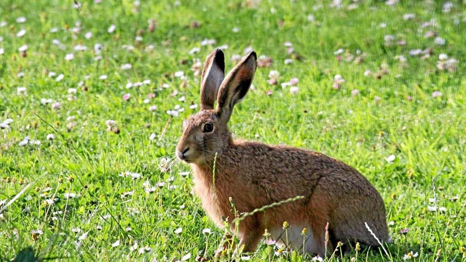 Ny app hjælper med at registrere blandt andet antallet af harer i Jammerbugt Kommune. Privatfoto