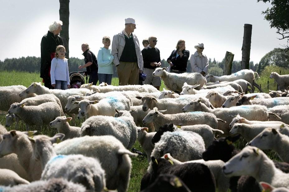 Tag til Sindal og se de mange små lam