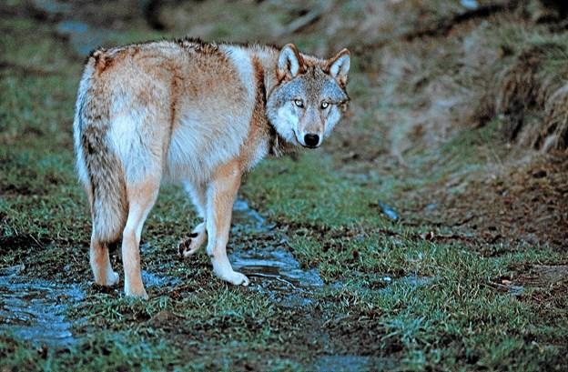6. november fortæller seniorforsker Thoms Secher Jensen  på Frederikshavn bibliotek, hvad det betyder for mennesker, at ulven er  kommet til landsdelen.