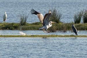 Første vilde hvide pelikan set i Thy: Vingefang på næsten fire meter