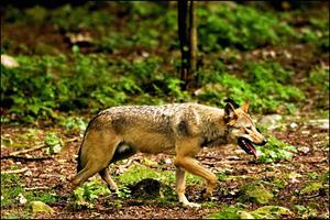 Dømt for ulvedrab har fået 779.525 kroner i erstatning fra staten