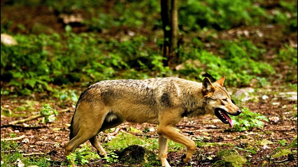 Mandag skal Vestre Landsret behandle ankesagen om drabet på en formodet ulv nær Ulfborg i Vestjylland 16. april 2018. Mens DNA-analyser ifølge anklagemyndigheden viser, at det var en ulv, der blev skudt og dræbt, har forsvaret og den tiltalte i byretten hævdet, at der var tale om en hybridulv. En hybridulv er en krydsning mellem en ulv og en hund. Både forsvarer og anklager ankede dommen. (Arkivfoto)