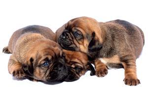 Stor bøde: Første sag om ulovlig hundehandel afgjort