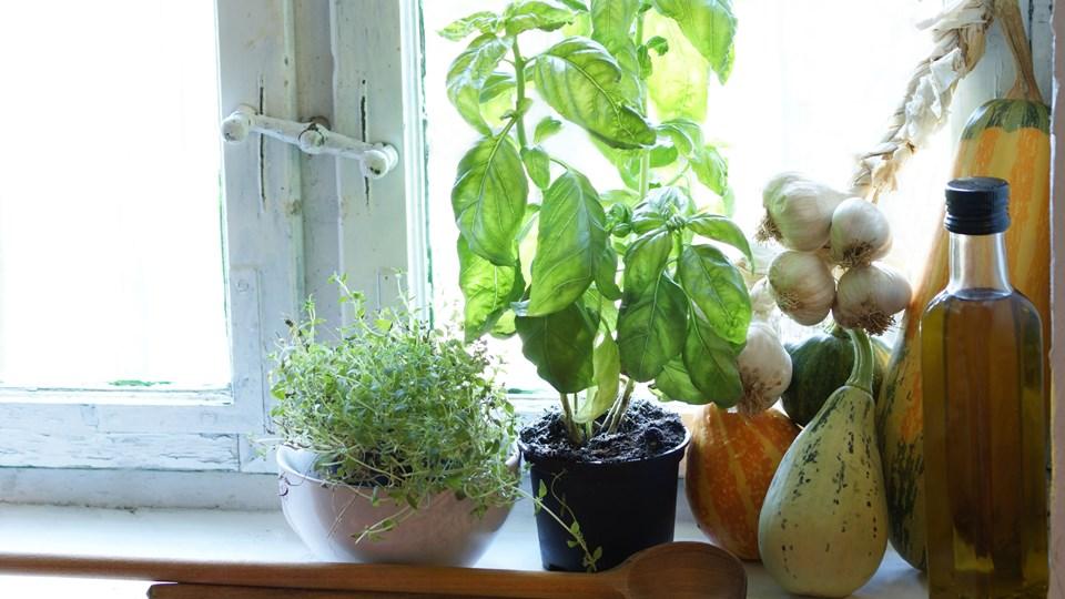 Vælg en vindueskarm, som ikke er lige over en radiator, når du vil dyrke krydderurter. Foto: Colourbox