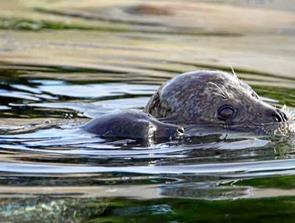 Hils på den lille ny sælunge på Nordsøen Oceanarium