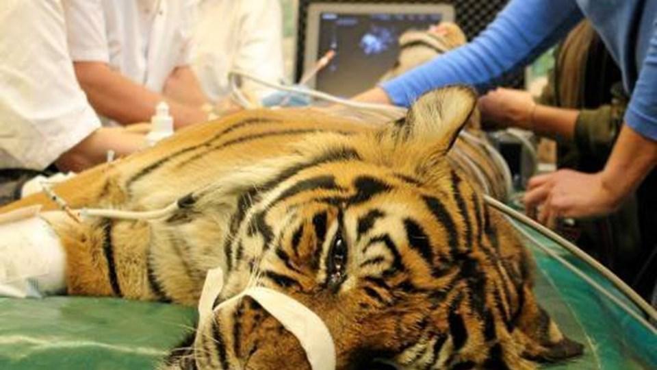 Benedict Kjærgaard og Sigga Magnusdottir fra Forsøgsdyrsenheden på Aalborg Universitetshospital opererer tigeren Kim. Foto: Aalborg Zoo